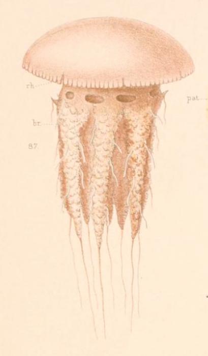 Medusa drawing by Maas (1903)