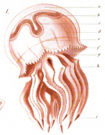 medusa drawing by Haeckel, 1869