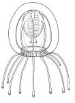 Calycopsis bigelowi, medusa