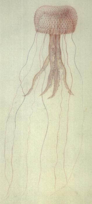 medusa drawing by Péron & Lesueur