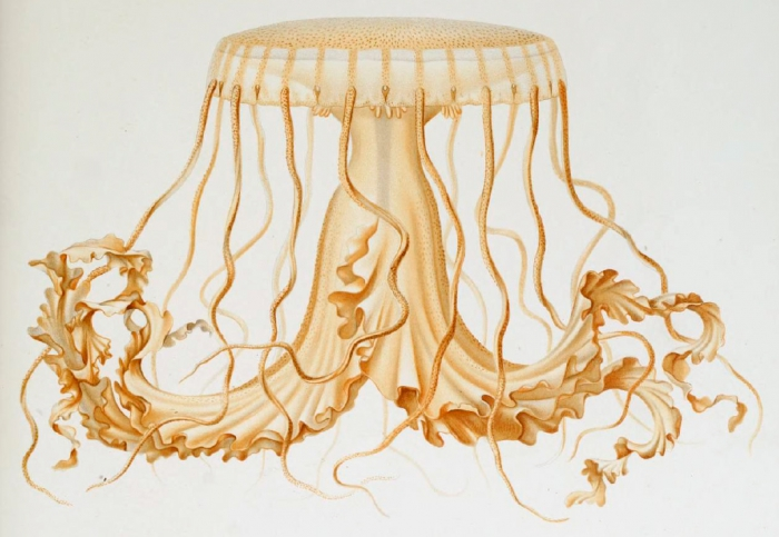 medusa drawing by Vanhöffen (1902)