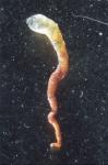 holotype specimen (ZMB CNI 14816)