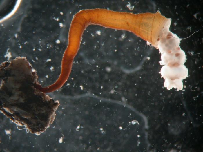 polyp with eumedusoids