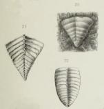 Textularia jonesi Brady, 1876