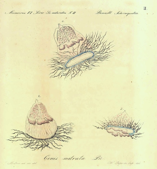 Conis mitrata, from Brandt (1838)