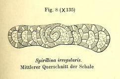 Spirillina irregularis Möller, 1879
