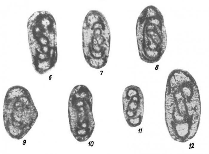 Glomodiscus biarmicus Malakhova, 1973