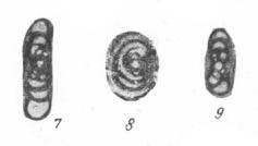 Archaediscus spirillinoides Rauzer-Chernousova, 1948