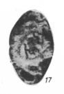 Asteroarchaediscus baschkiricus (Krestovnikov & Theodorovich, 1936)