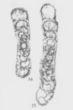 Propermodiscus attenuatus Marfenkova, 1978