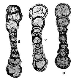 Ammarchaediscus leckwijcki Conil in Austin, Conil, Groessens & Pirlet, 1974