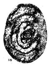 Tournarchaediscus lysi Conil & Pirlet, 1974