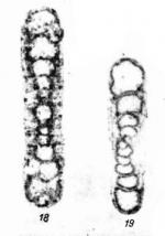 Kasachstanodiscus kischkinensis Marfenkova, 1978