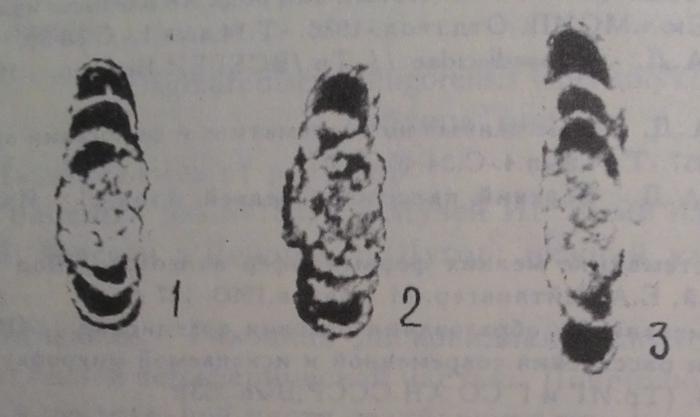 Dagmarodiscus shugorensis Chermnykh, 1996
