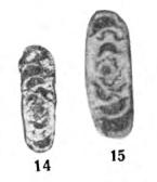 Archaediscus incertus Grozdilova & Lebedeva, 1954