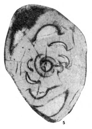 Archaediscus maximus Grozdilova & Lebedeva, 1954