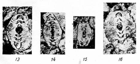 Permodiscus vetustus Dutkevich in Chernysheva, 1948