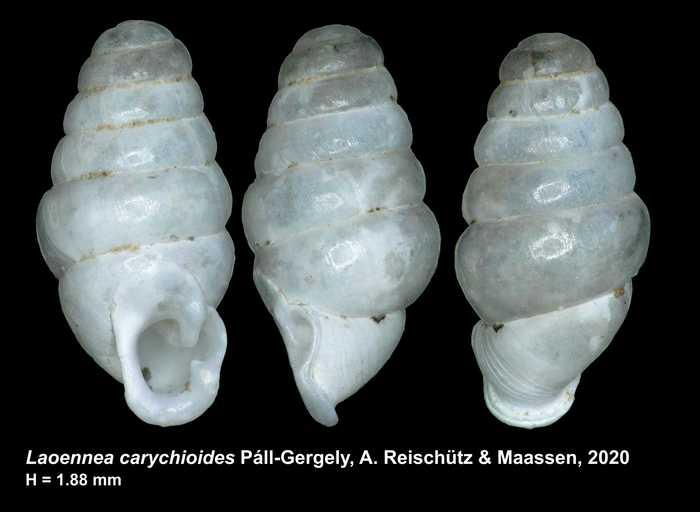 Laoennea carychioides Páll-Gergely, A. Reischütz & Maassen, 2020