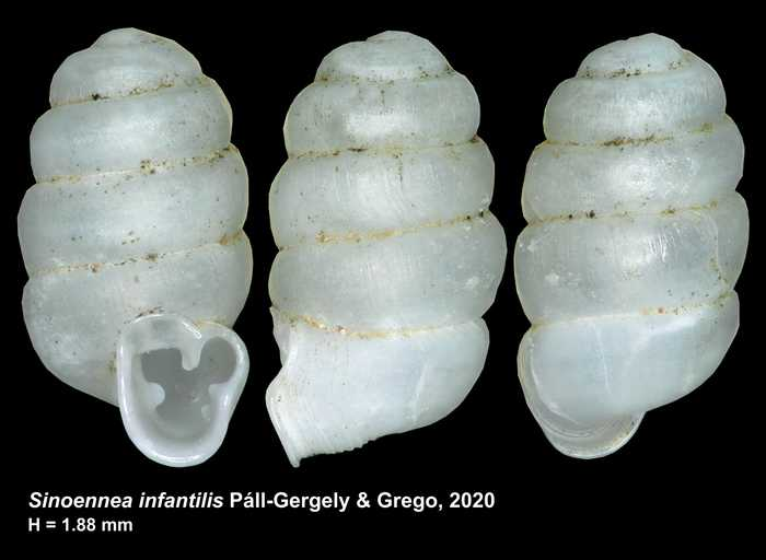 Sinoennea infantilis Páll-Gergely & Grego, 2020