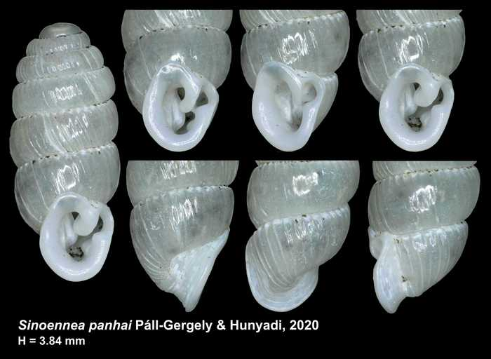 Sinoennea panhai Páll-Gergely & Hunyadi, 2020