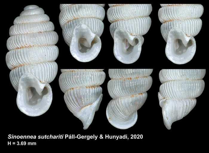 Sinoennea sutchariti Páll-Gergely & Hunyadi, 2020
