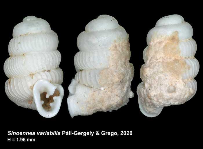 Sinoennea variabilis Páll-Gergely & Grego, 2020