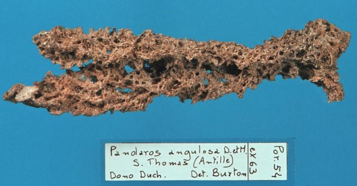 Pandaros angulosa