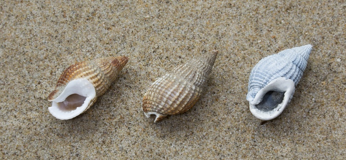 Shells of netted dog whelk