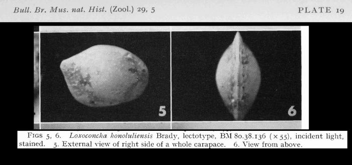 Lectotype of Loxoconcha honoluliensis Brady, 1880 (Loxoconchella honoluliensis)