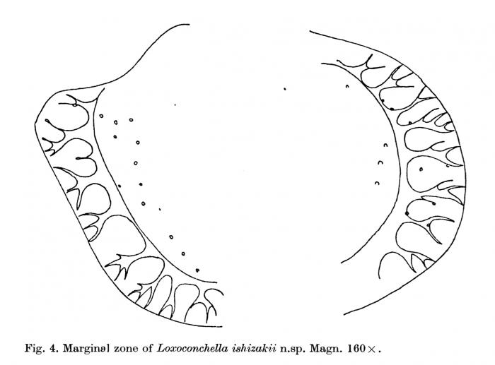 Radial pore canals of Loxoconchella ishizakii Keij, 1978