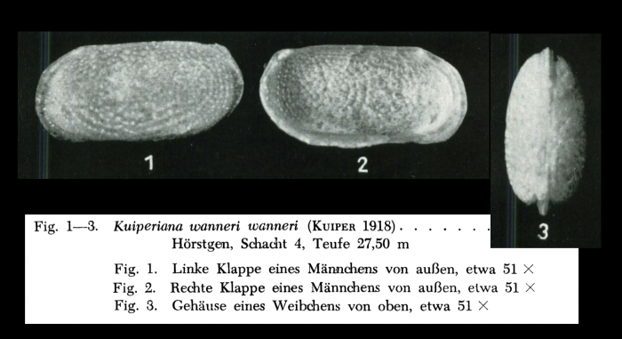 NOT types - Kuiperiana wanneri from Bassiouni, 1962, Pl. 8