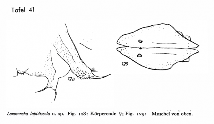 Types of Loxoconcha lapidiscola Hartmann, 1959 from the original description