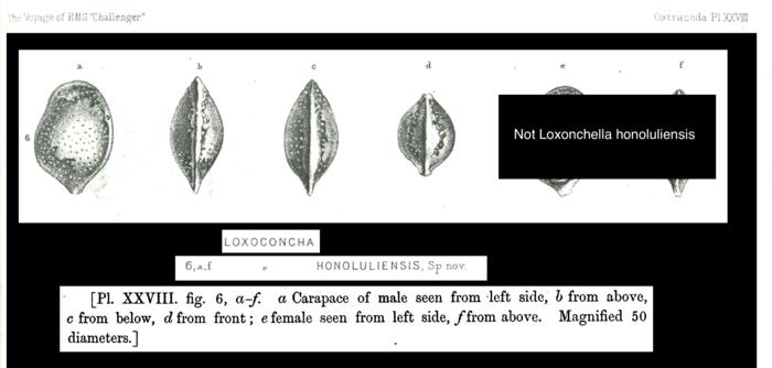 Type of Loxoconcha honoluliensis Brady, 1880 = Loxoconchella honoluliensis from the original description