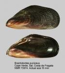 Brachidontes puniceus