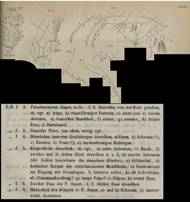 Paradoxostoma dispar Fischer, 1855