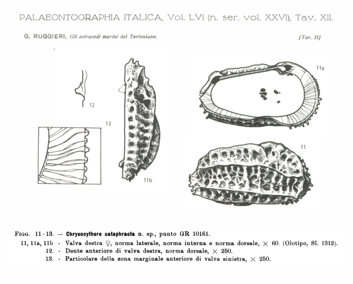 Chrysocythere cataphracta Ruggieri, 1962 from the original description