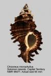 Chicoreus microphyllus