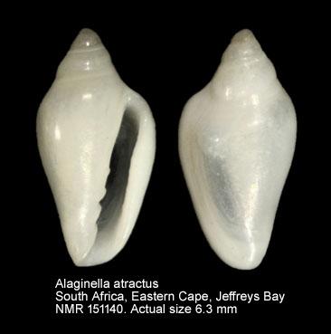 Alaginella atractus