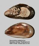 Semimytilus pseudocapensis