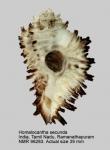Homalocantha secunda