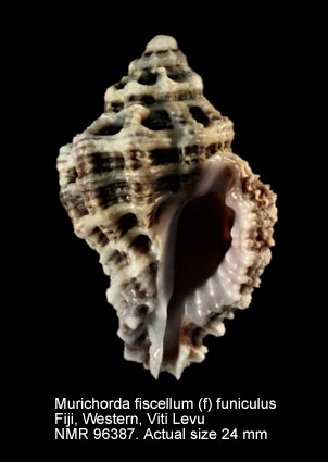 Murichorda fiscellum