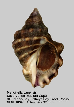 Mancinella capensis