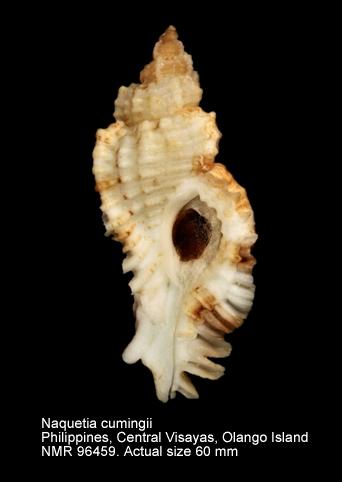 Naquetia cumingii