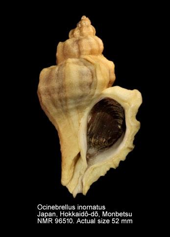 Ocinebrellus inornatus
