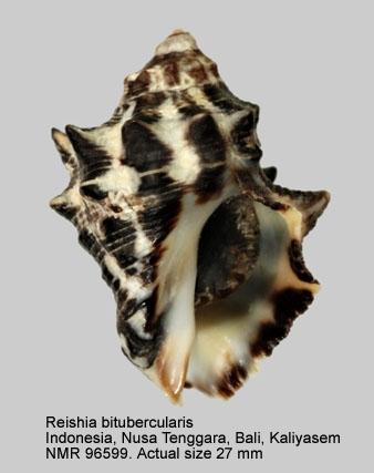 Reishia bitubercularis