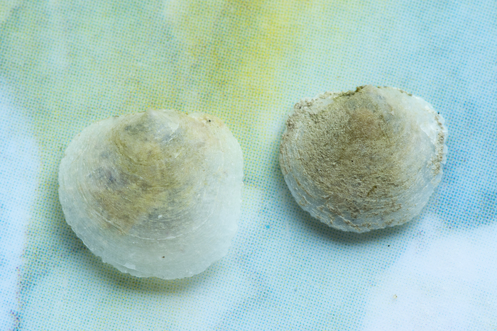 Schell smallest saddle oyster