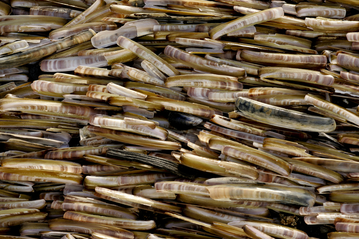 Massive stranding of Atlantic razor clam