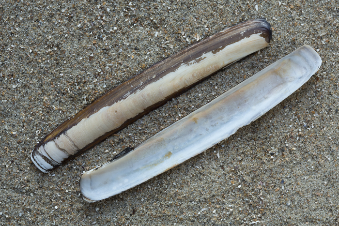 Shell sword razor clam
