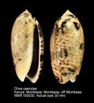Oliva caerulea