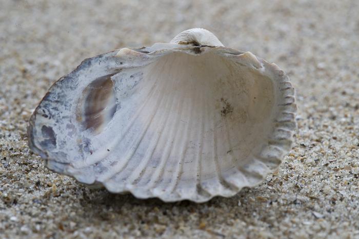 Shell of brackish cockle